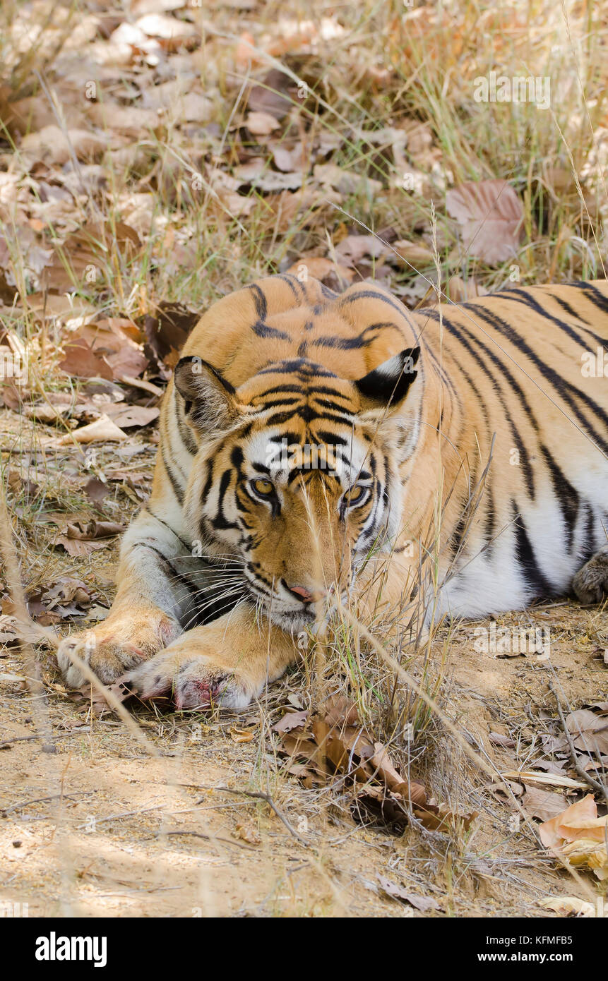 A tiger sitting in a shade during a safari on a hot safari day inside Bandhavgarh National Park - Stock Image
