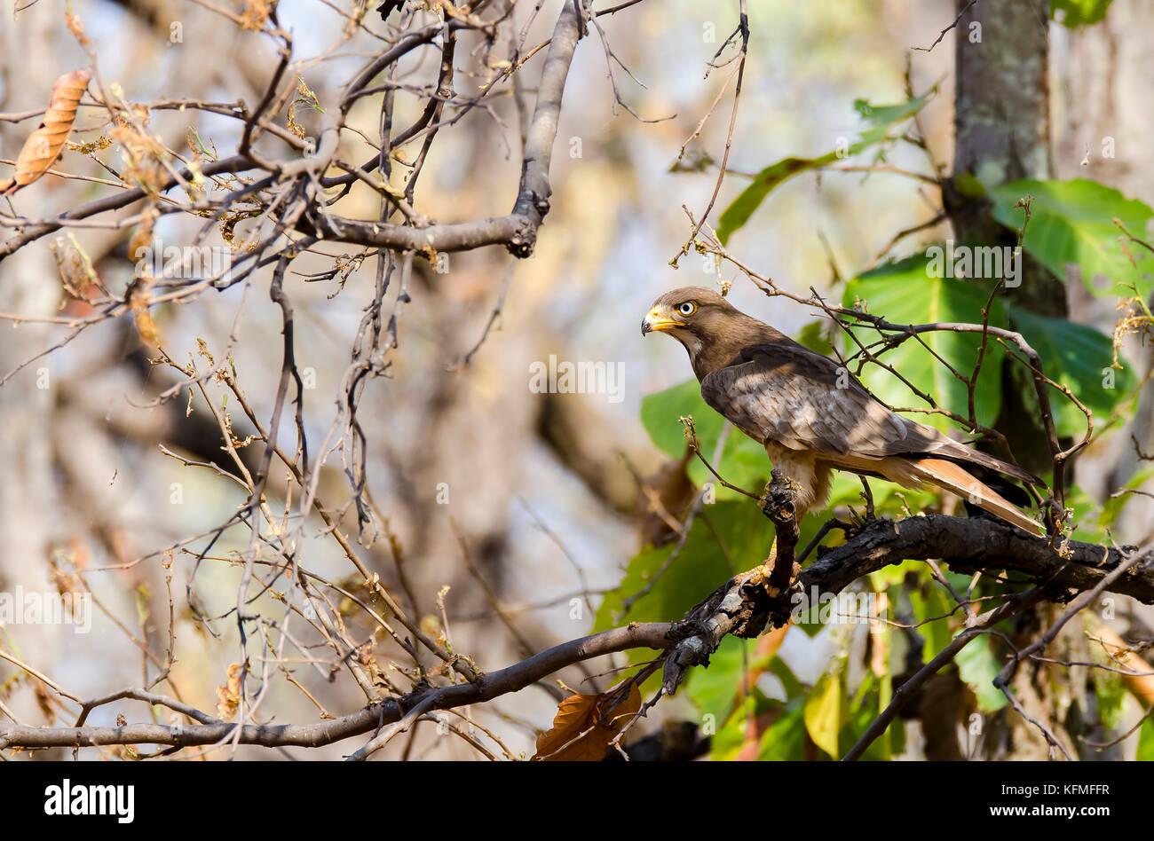 White-eyed Buzzard sitting on a tree branch inside bandhavgarh national park during Indian safari - Stock Image