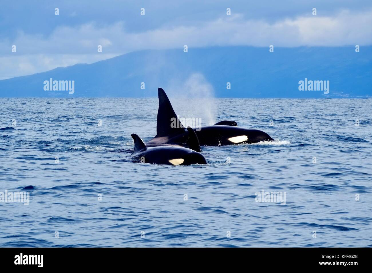 Orcas in the Azores - Stock Image