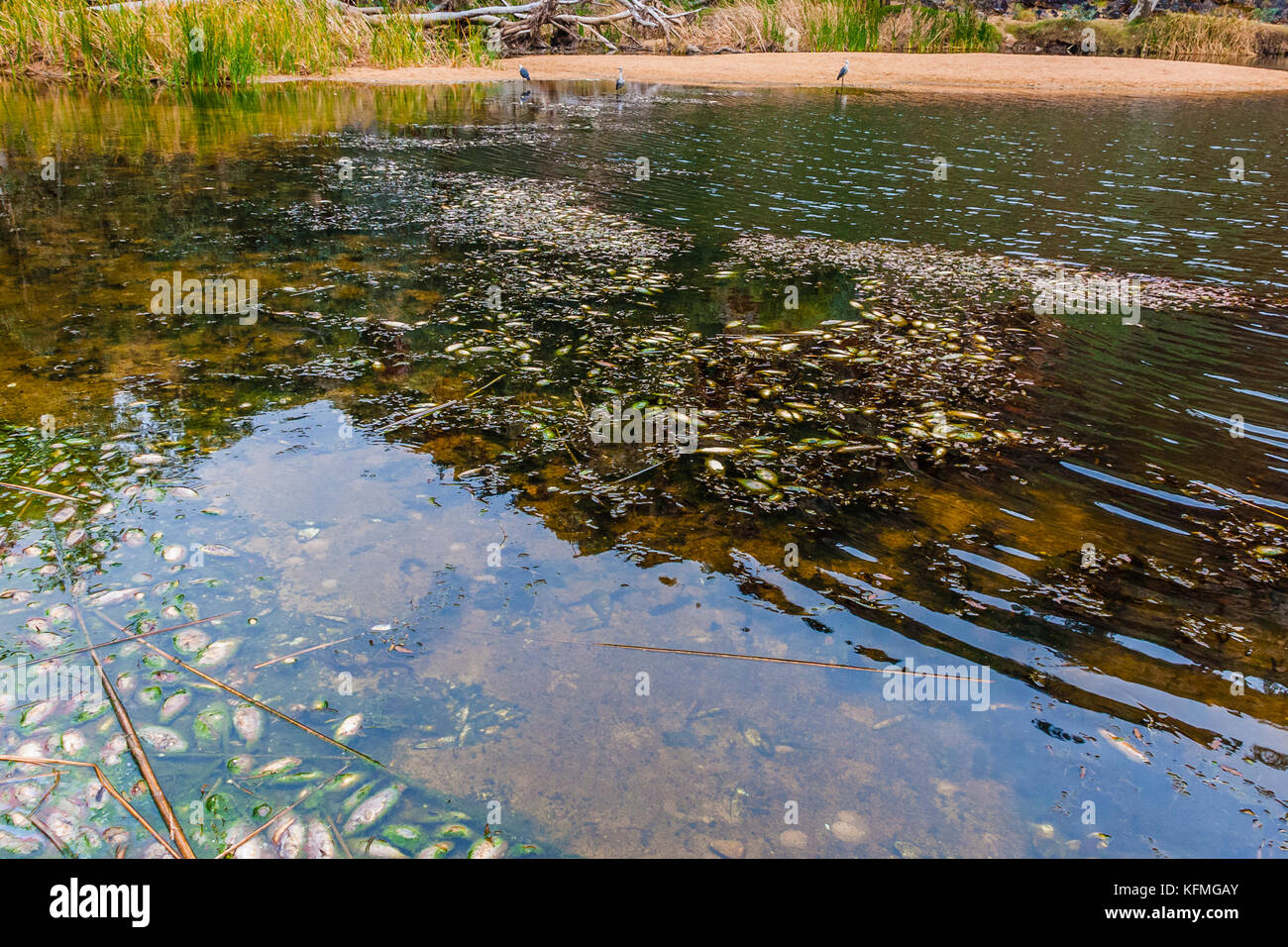 Fish pestilence in the Ellery Creek Big Hole, MacDonnell National Park, Australia - Stock Image