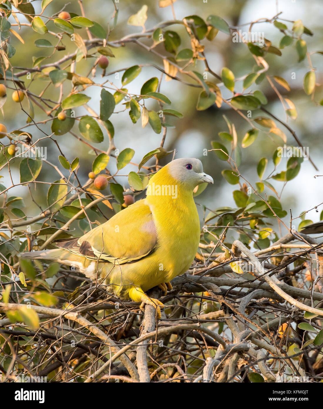 Yellow-footed green pigeon sitting on a high perch - Stock Image