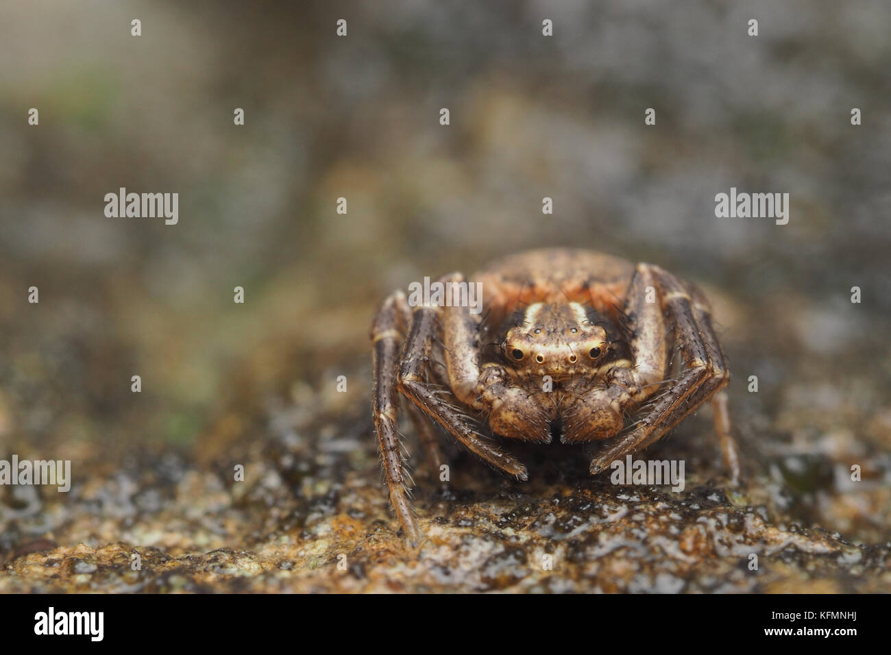 Crab Spider (Xysticus sp.) resting on large boulder. Tipperary, Ireland - Stock Image