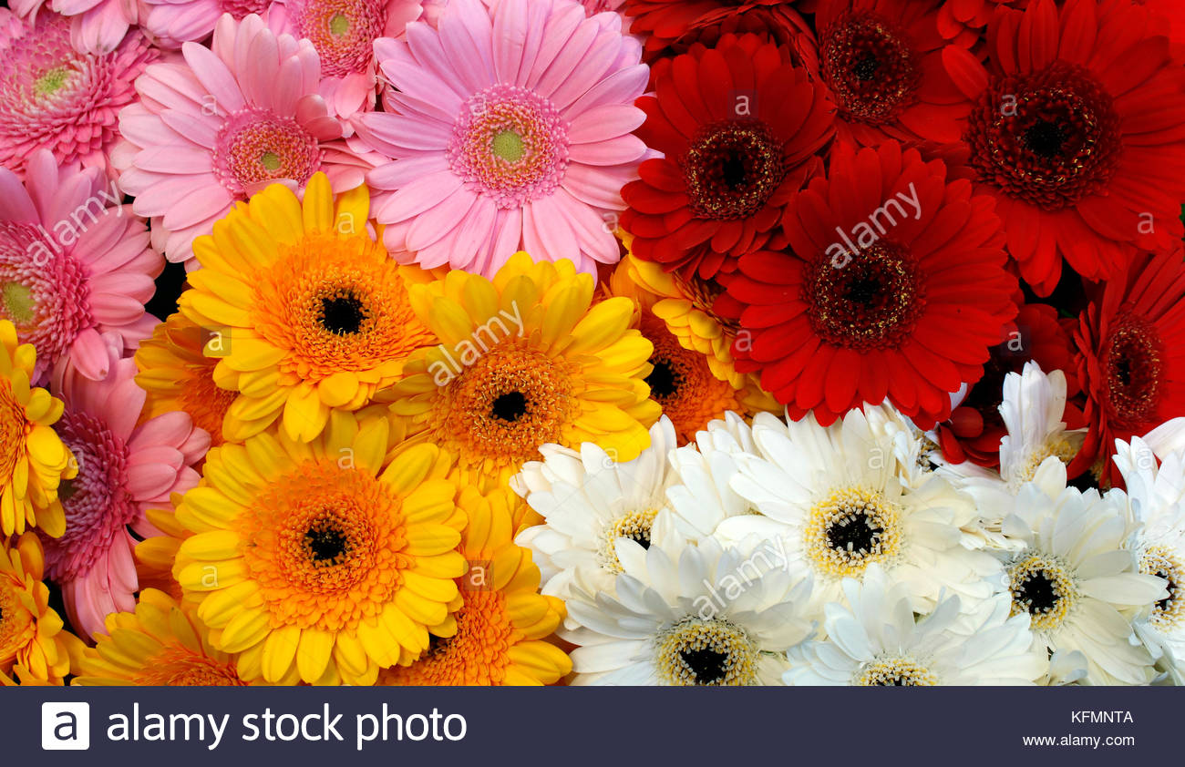 Oink, Red, Orange and White colors Gerbera flowers made beautiful ...