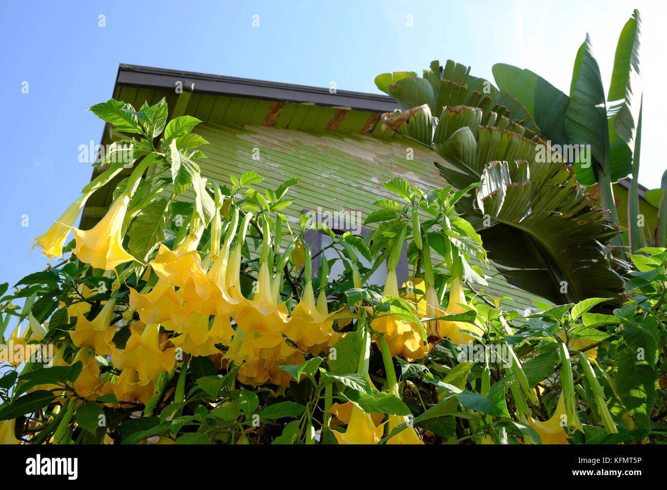 Yellow brugmansia angels trumpet stock photos yellow brugmansia yellow brugmansia or angels trumpet flowering shrub growing outside a house in frogtown los angeles mightylinksfo