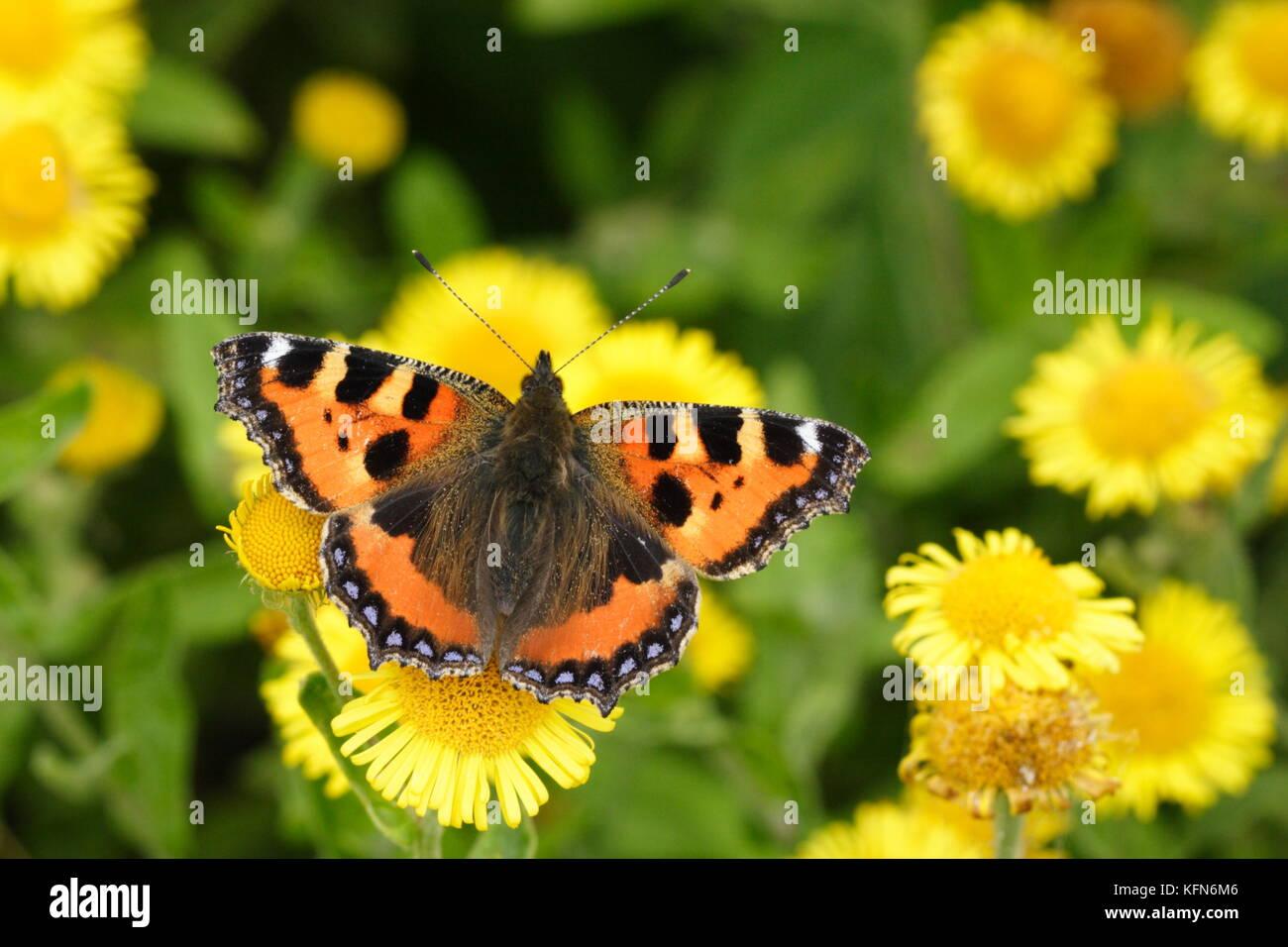 Small Tortoiseshell butterfly nectaring on Fleabane - Stock Image