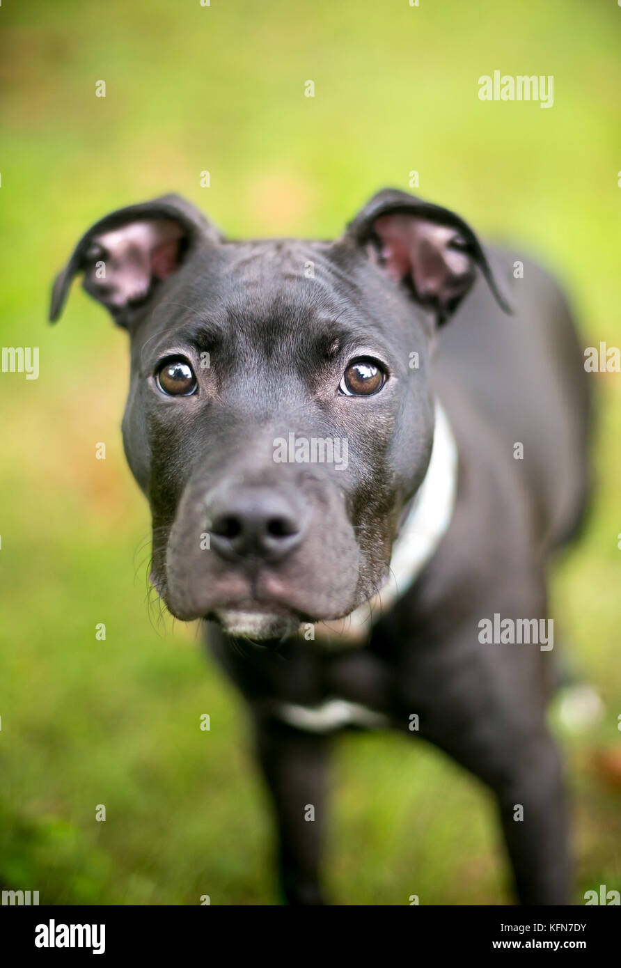 A Black Pit Bull Terrier Mixed Breed Puppy Stock Photo 164580023