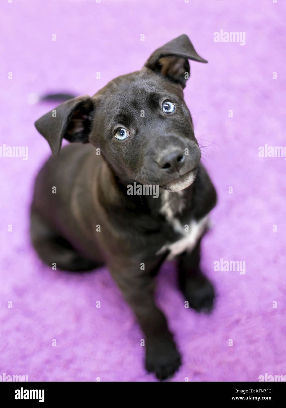 A cute black and white mixed breed puppy with blue eyes looking up - Stock Image