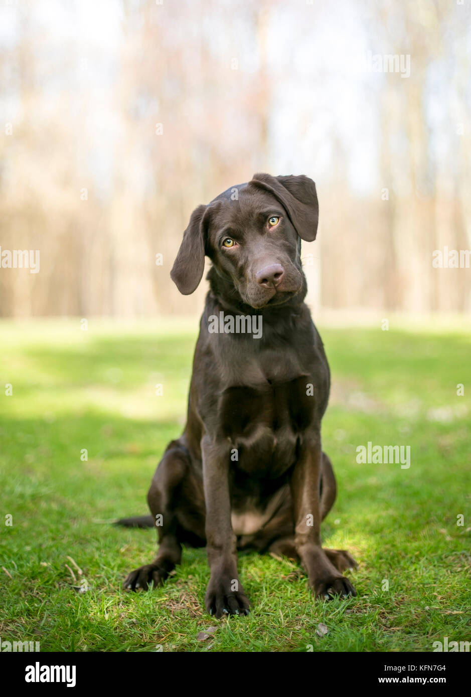 A Chocolate Labrador Retriever puppy sitting outdoors and listening with a head tilt - Stock Image