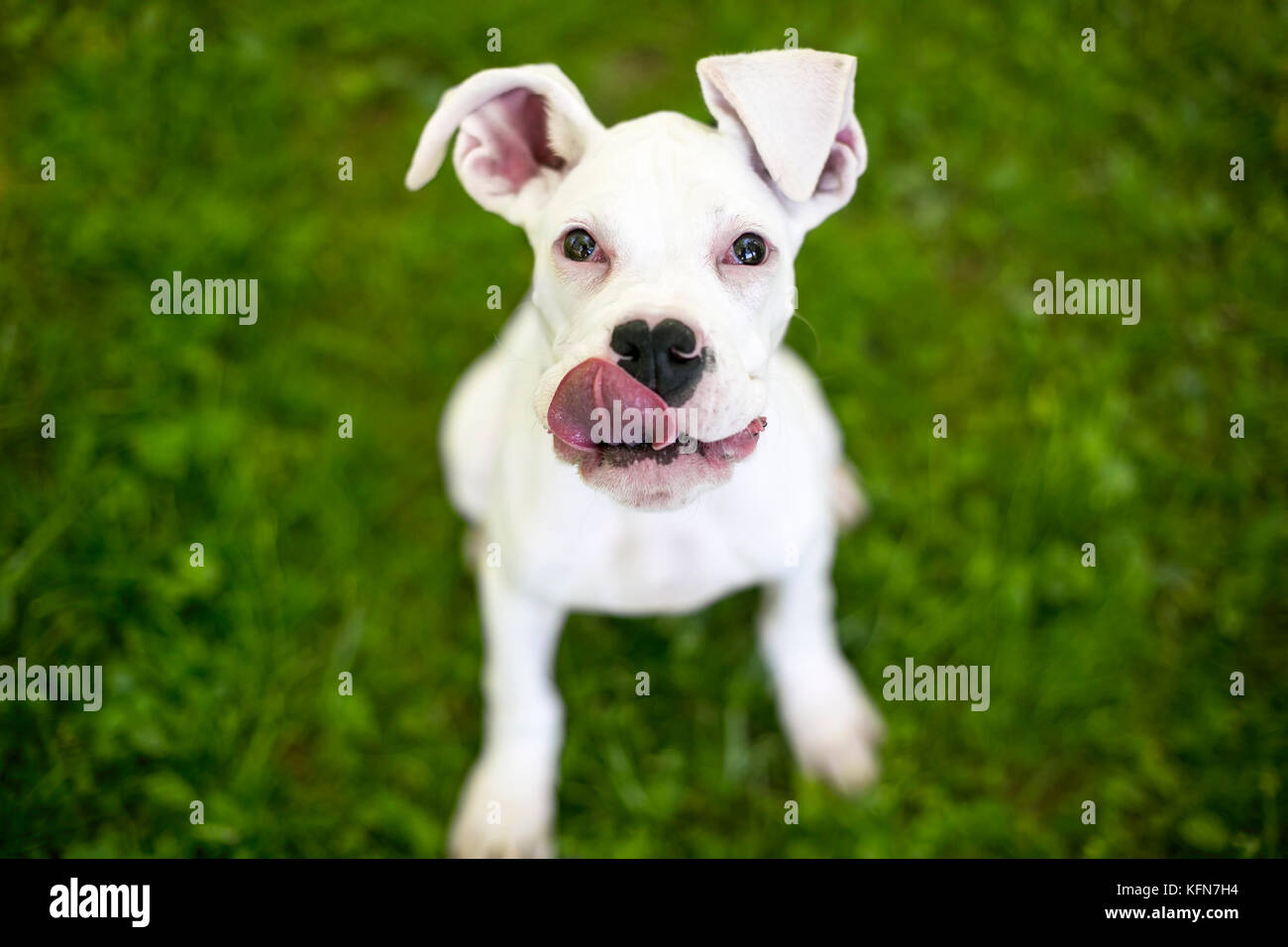 A hungry Great Dane puppy with large floppy ears, licking its lips - Stock Image