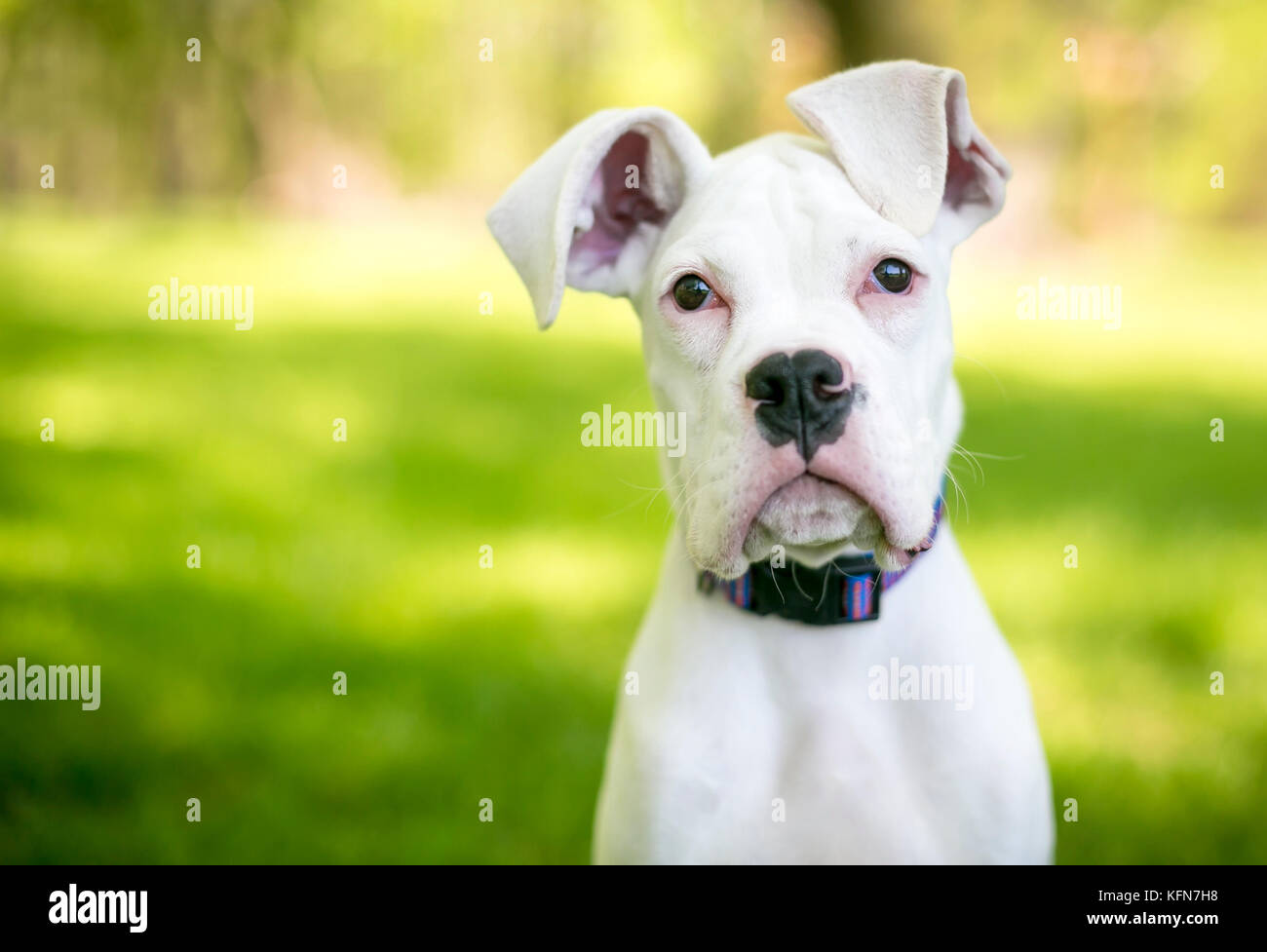 A white Great Dane puppy with large floppy ears - Stock Image