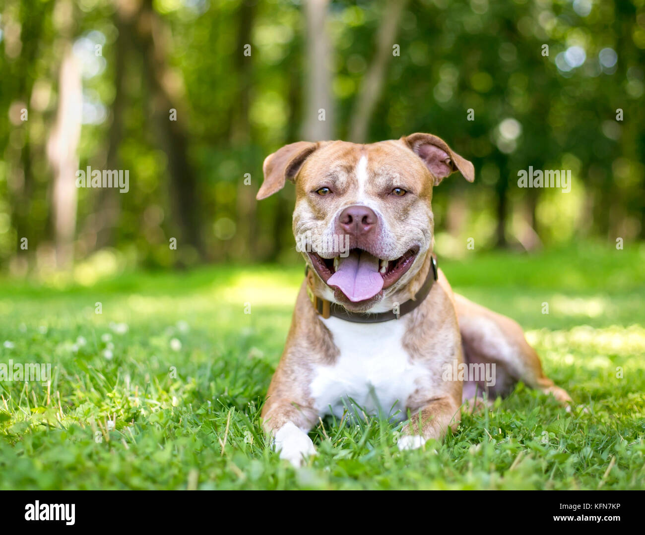 A smiling mixed breed pit bull type dog lying in the grass - Stock Image