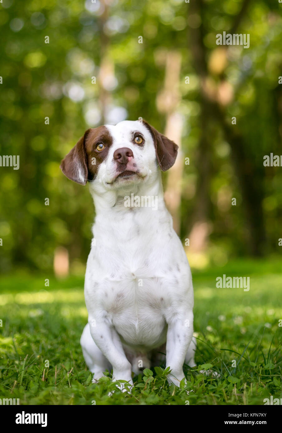 A brown and white mixed breed dog sitting outdoors, looking up - Stock Image