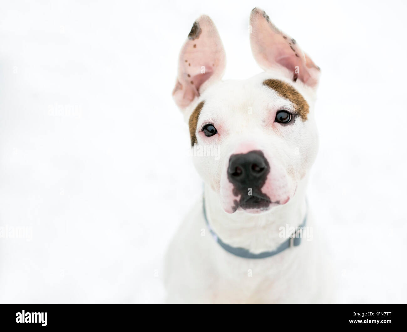 A cute Pit Bull Terrier mixed breed dog with large ears outdoors in the snow - Stock Image