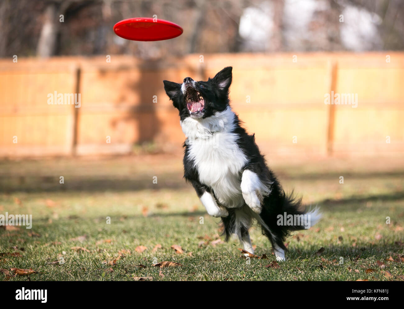 A Border Collie dog leaping to catch a flying disc - Stock Image
