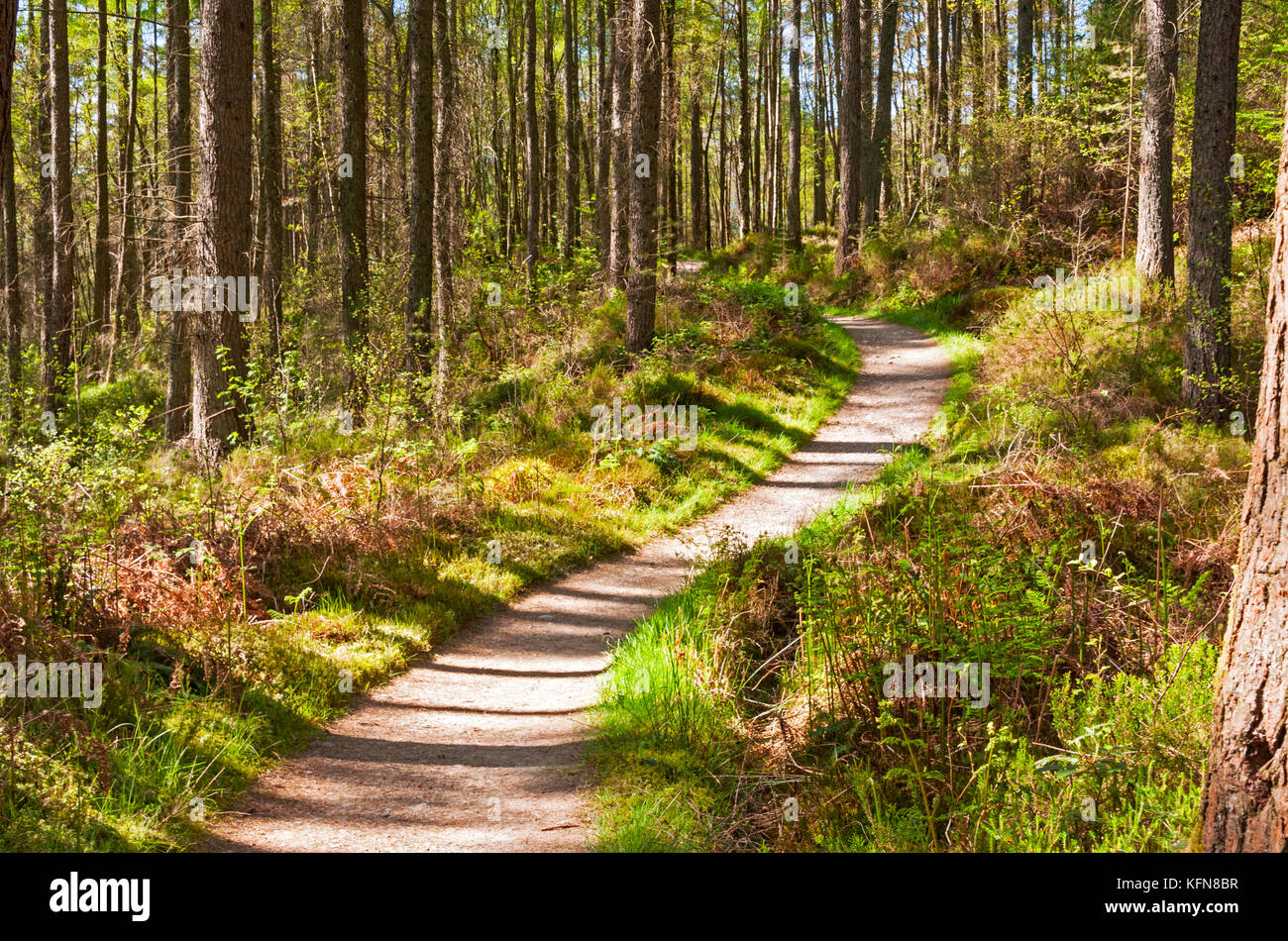 The path of the West HIghland Way leading through a forest, Scotland - Stock Image