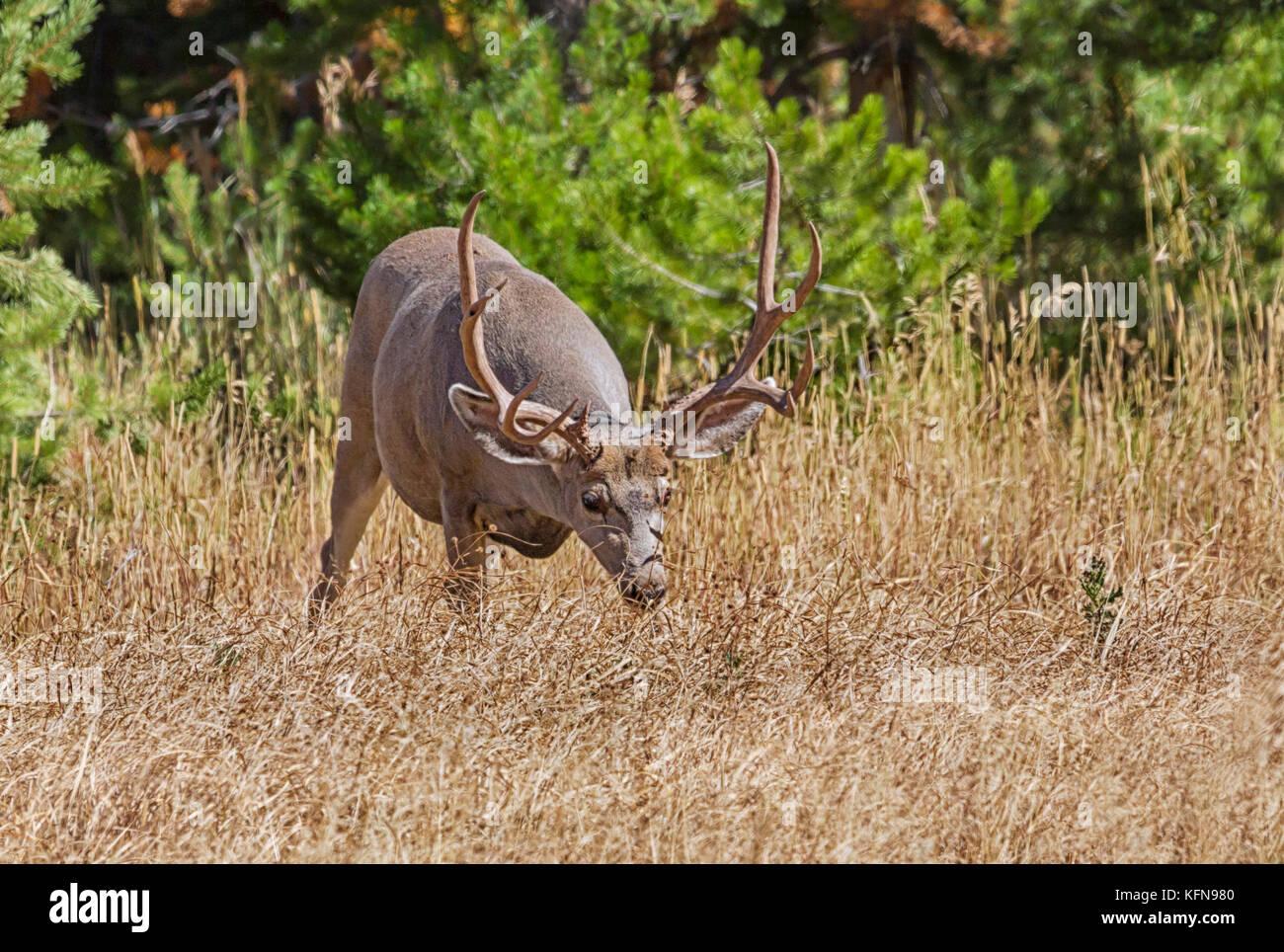 Mule deer (Odocoileus hemionus) is indigenous to western North America - Stock Image