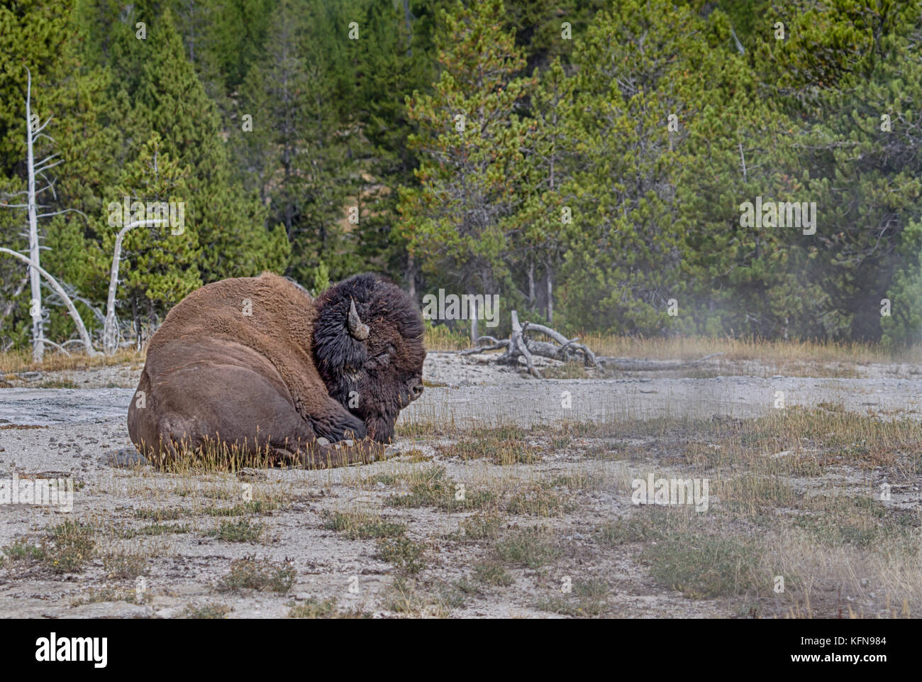 American bison (Bison bison) at Upper Geyser Basin is getting warm from hot earth surfice - Stock Image