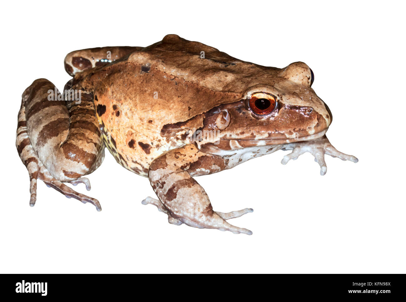 Smoky jungle frog ( Leptodactylus pentadactylus)  is the biggest frog at Peru - Stock Image