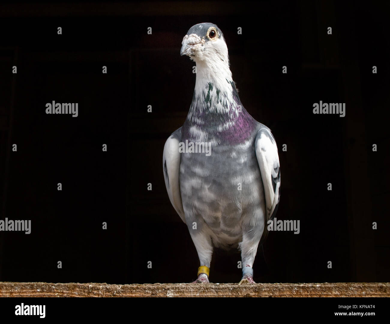 Racing Pigeon sitting on wood against a black background