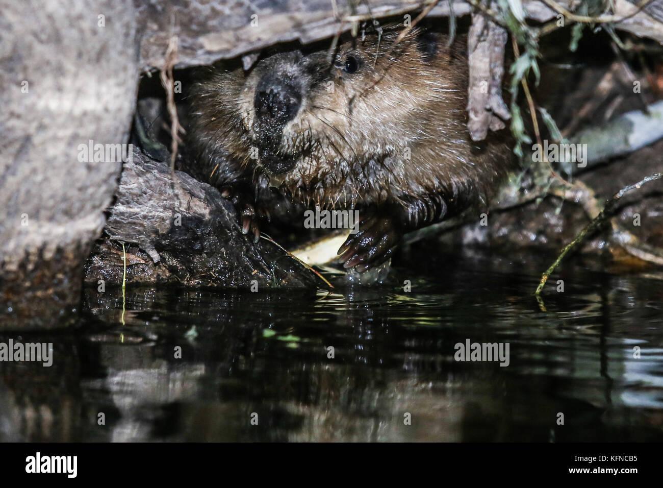 Canadian Beaver Dams Ecosystem in the Cuenca los Ojos in SONORA MEXICO. *Photo:LuisGutierrez / NortePhoto.com he Stock Photo