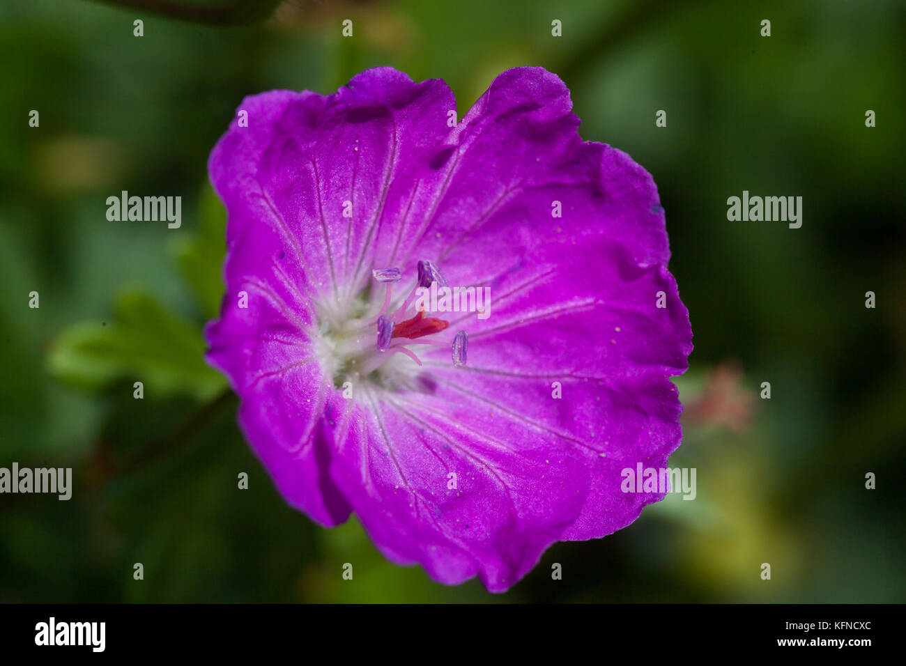 lila Blüte - Stock Image