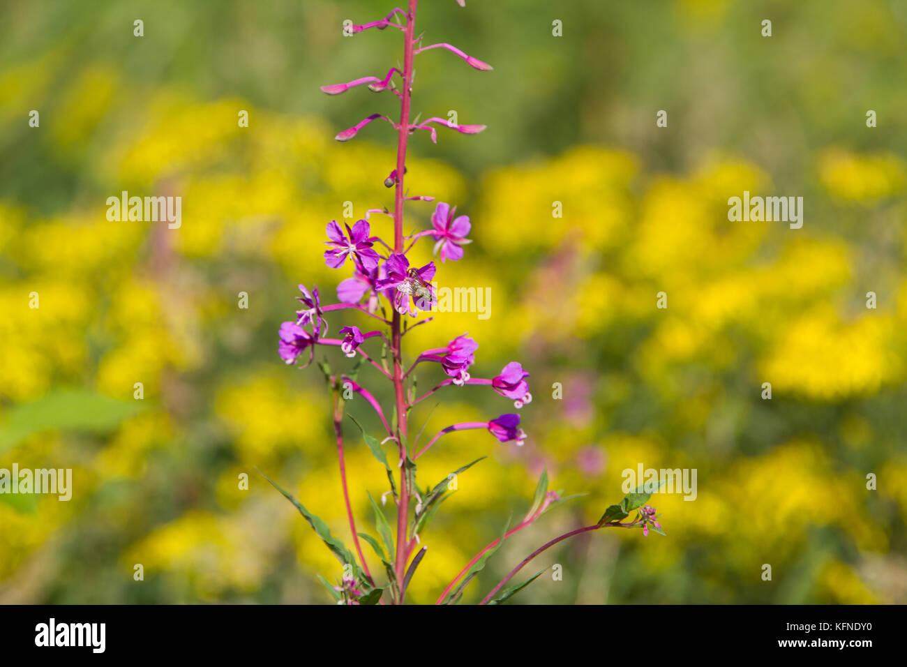 rot blühend auf gelben Hintergrund schmalblättriges Weidenröschen - Stock Image