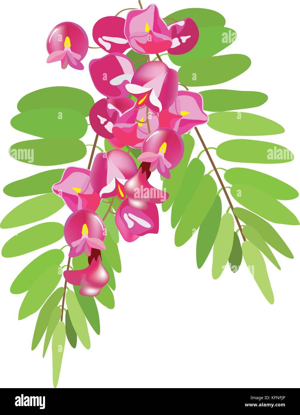 Blooming branch of acacia, vector illustration - Stock Vector