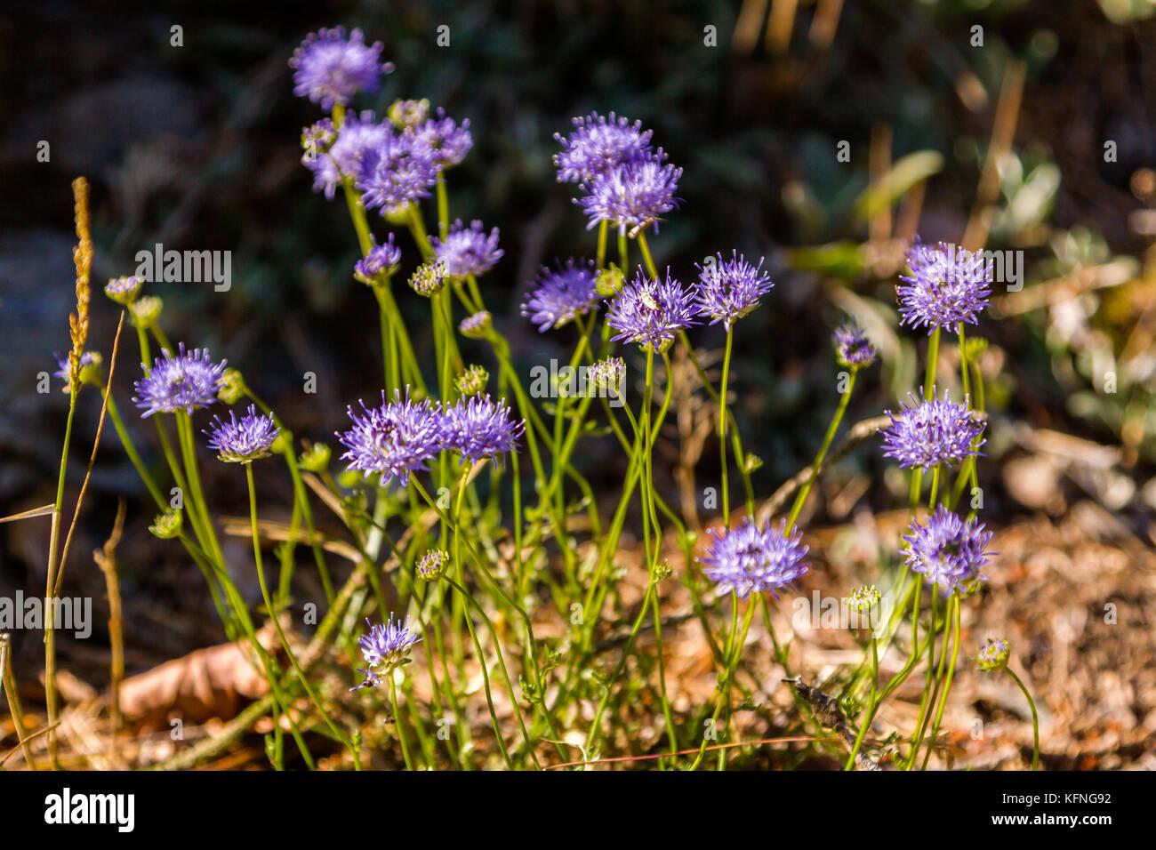 lila blühende Pflanzen - Stock Image