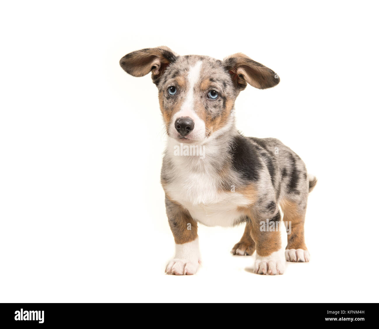 Cute Blue Merle Welsh Corgi Puppy With Blue Eyes And Hanging Ears Stock Photo Alamy