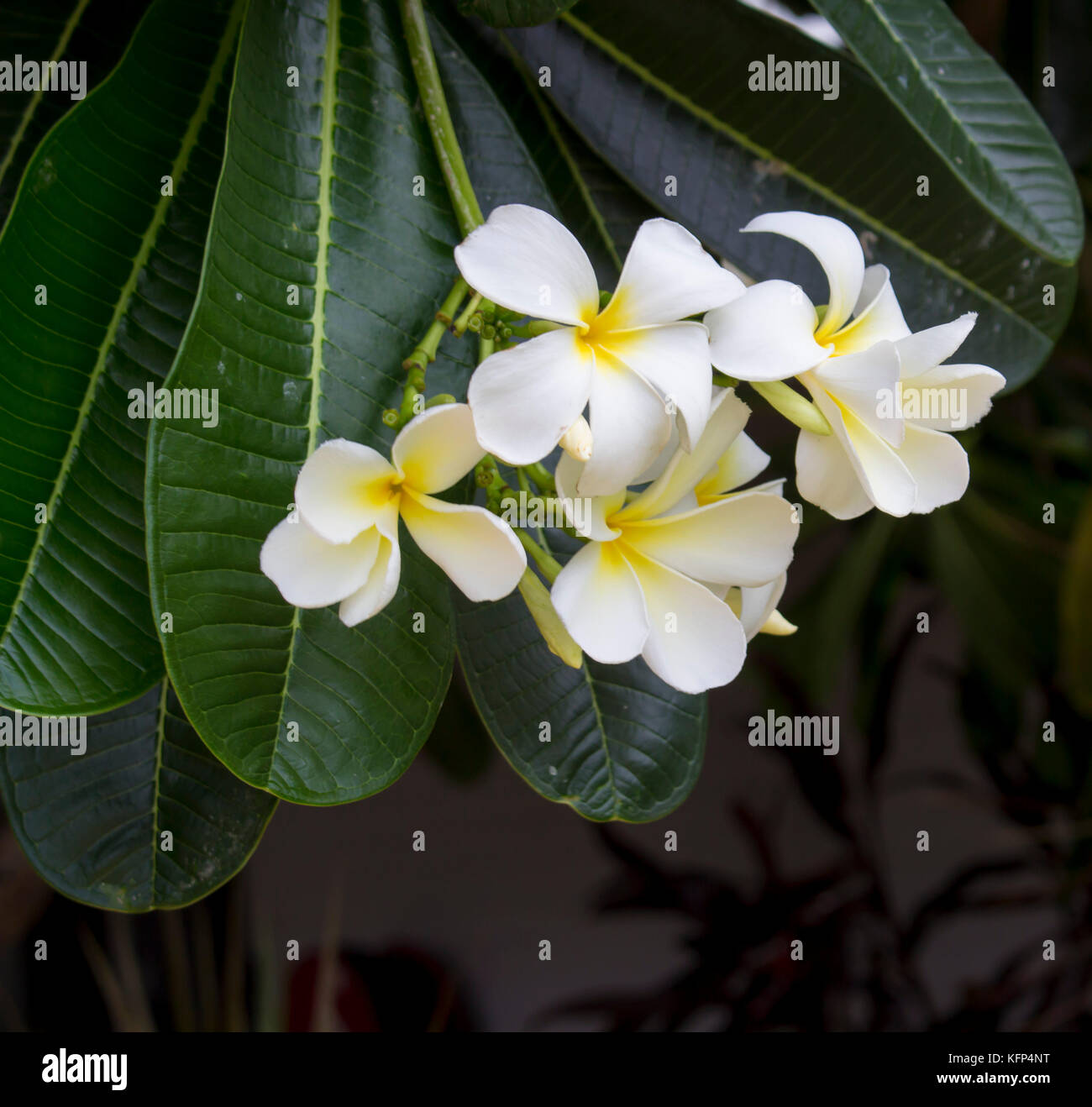 White Flowers With Yellow Centers Stock Photos White Flowers With