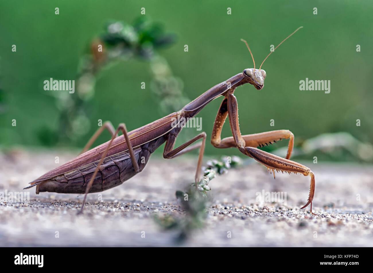 Closeup of a Praying Mantis or the European mantis. Shallow depth of field. - Stock Image