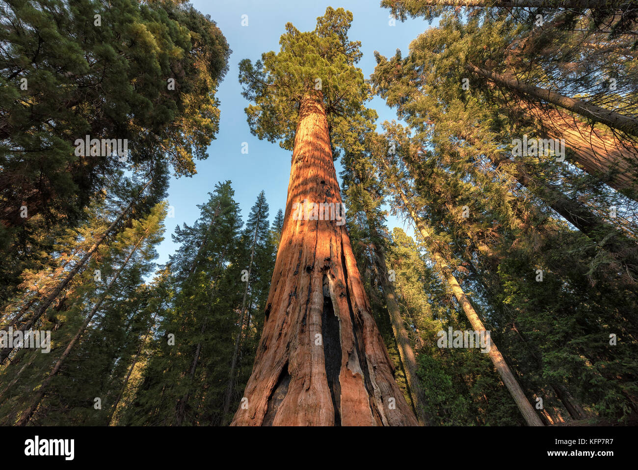 Redwood Trees in Sequoia National Park, California. - Stock Image
