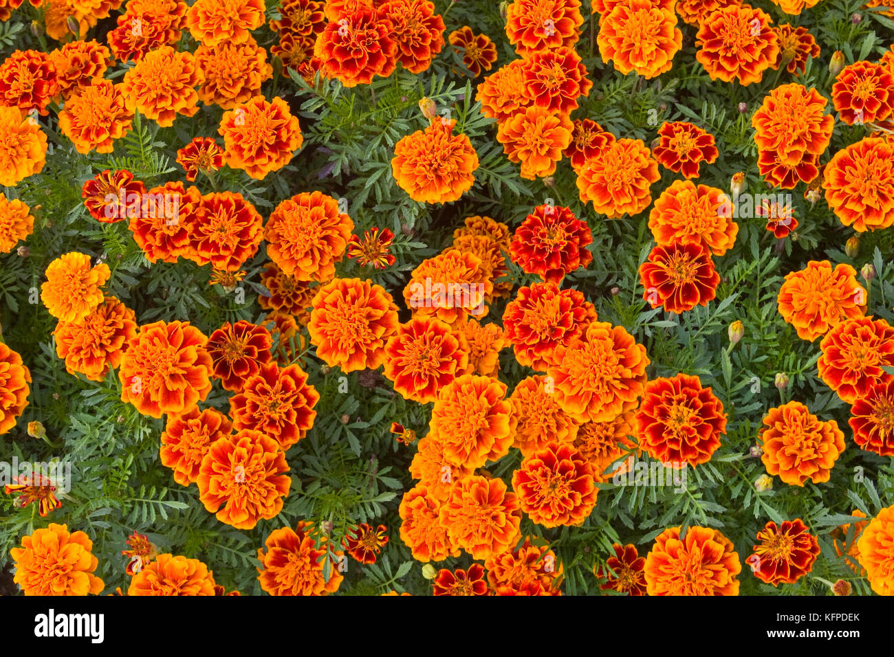 Beautiful floral background. Orange marigolds in the flowerbed close-up. Flowers Tagetes. Stock Photo
