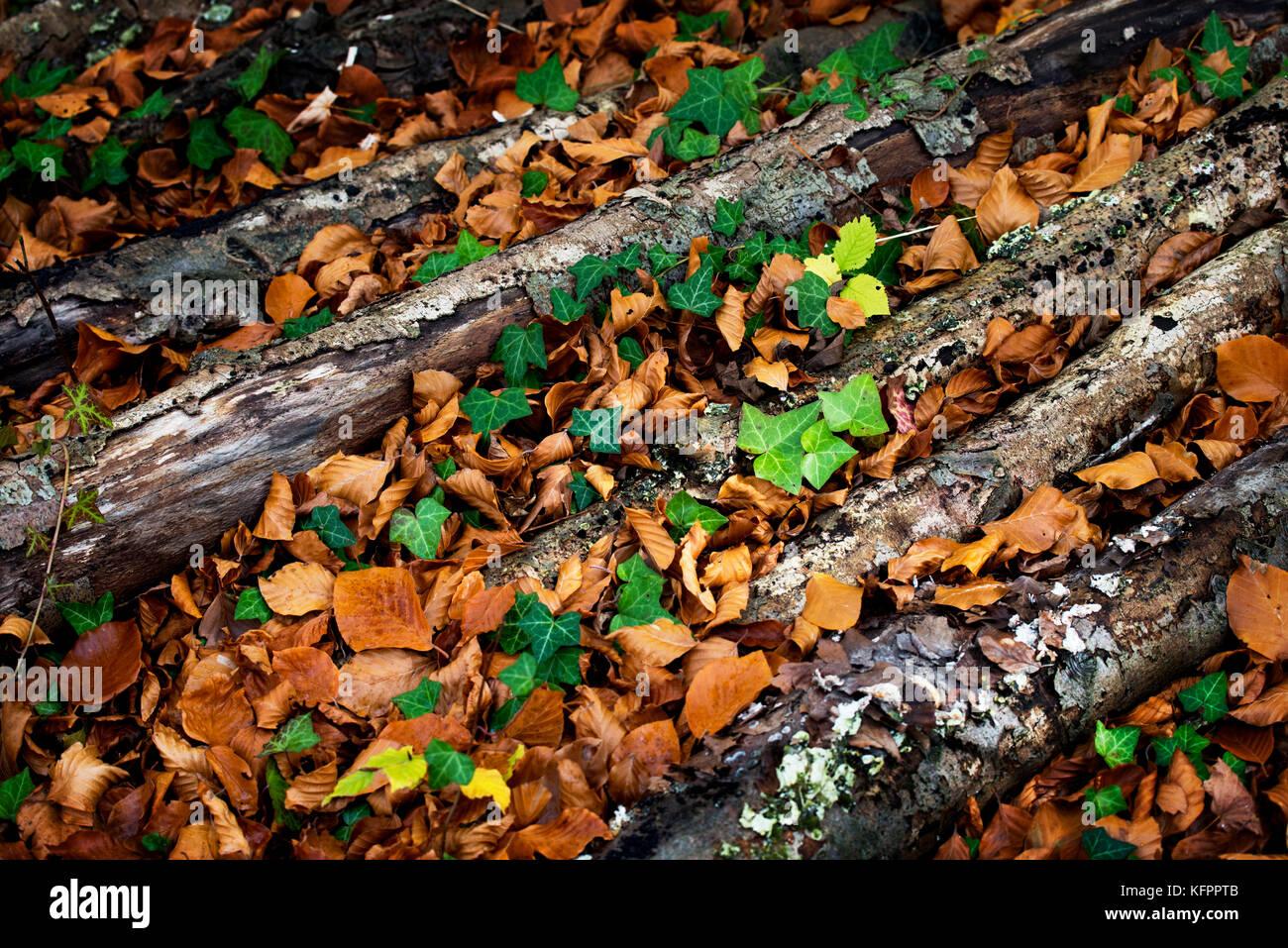 Gogmagog Hills, Cambridgeshire, UK. 31st Oct, 2017. Autumn colours on the Gogmagog Hills south of Cambridge, Cambridgeshire,England, - Stock Image