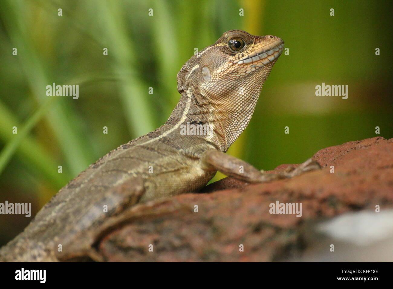Young brown basilisk lizard (basiliscus vittatus) on rock, Costa Rica. Stock Photo