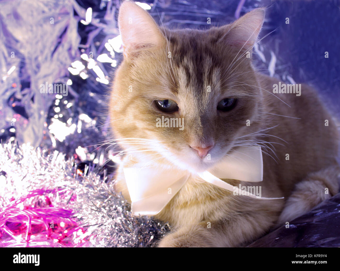 Beautiful red cute cat Sheva with white bow ready to Christmas well-dressed. Toning effect - Stock Image