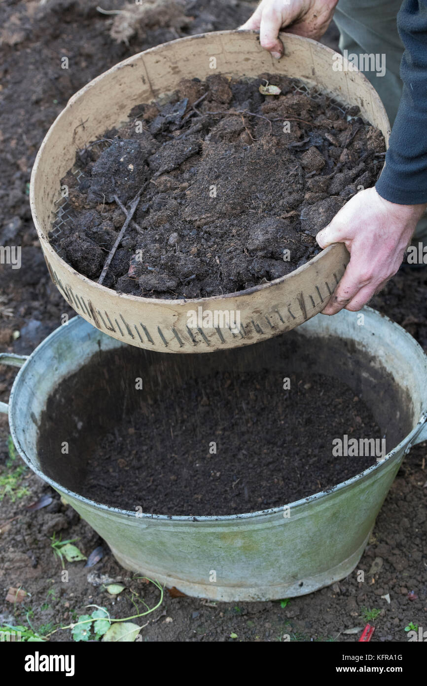 Gardener sieving homemade compost into a old metal tub. UK - Stock Image