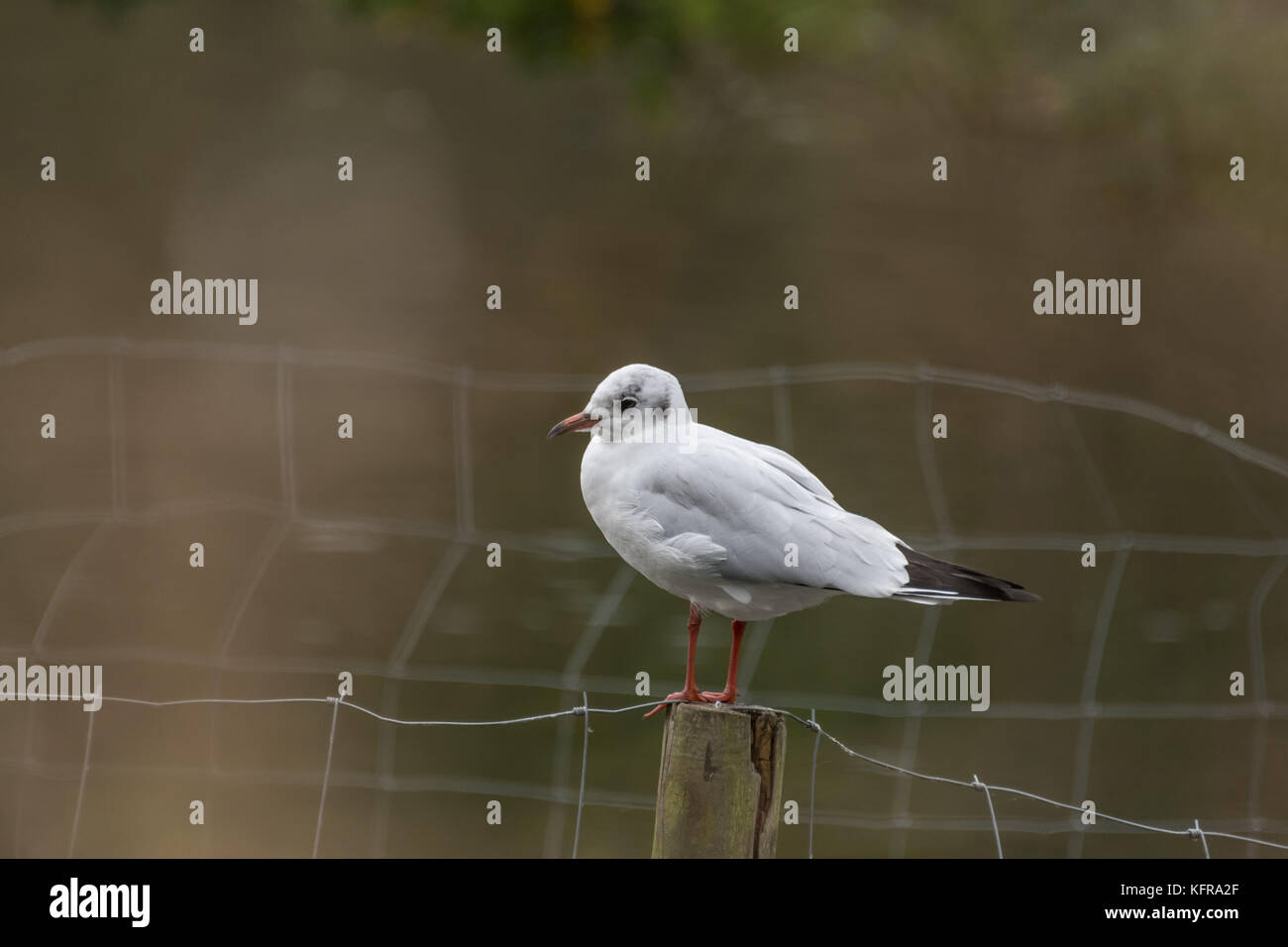 Black Headed Gull at Connaught Water - Stock Image