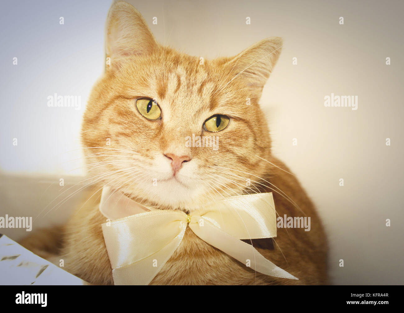 Beautiful red cute cat Sheva with white bow ready to Christmas well-dressed - Stock Image