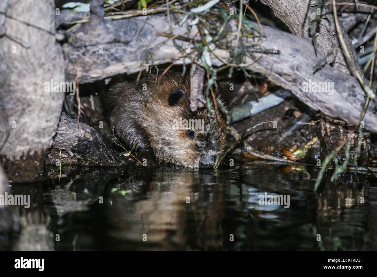 Canadian Beaver Dams Ecosystem in the Cuenca los Ojos in Agua Prieta, Sonora,  Mexico.  Castor nada en dique. Photo: Stock Photo