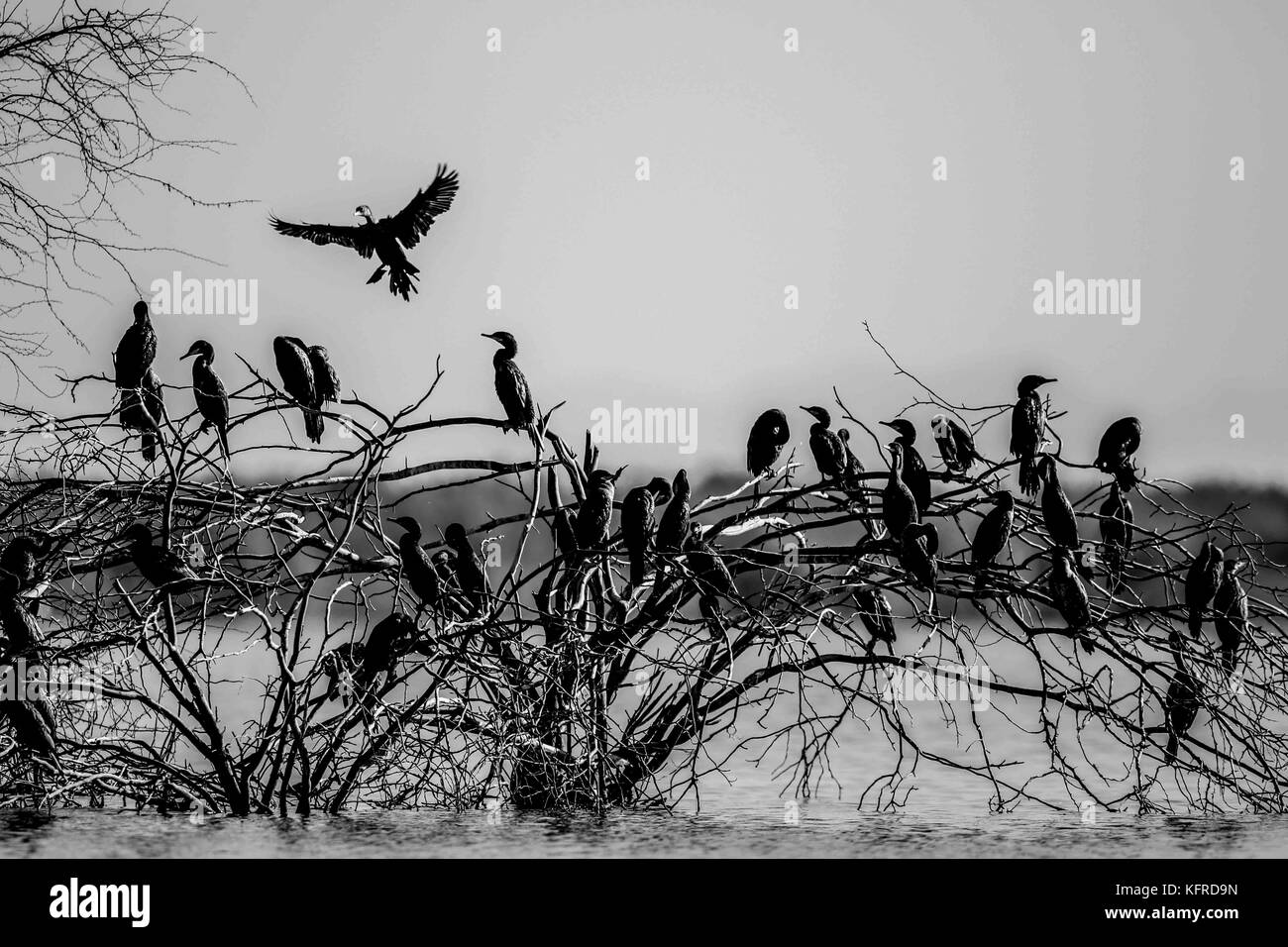 Hundreds of birds and ducks rest, fish for food and fly over the Abelardo L. Rodrigez dam in Hermosillo Sonora. - Stock Image