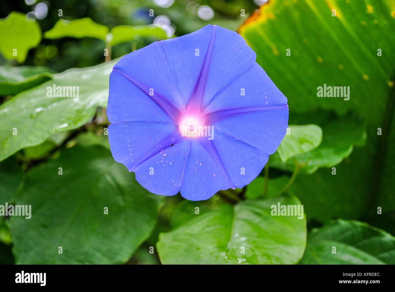 Blue dawn flower stock photos blue dawn flower stock images alamy blue dawn flower ipomoea acuminata stock image izmirmasajfo