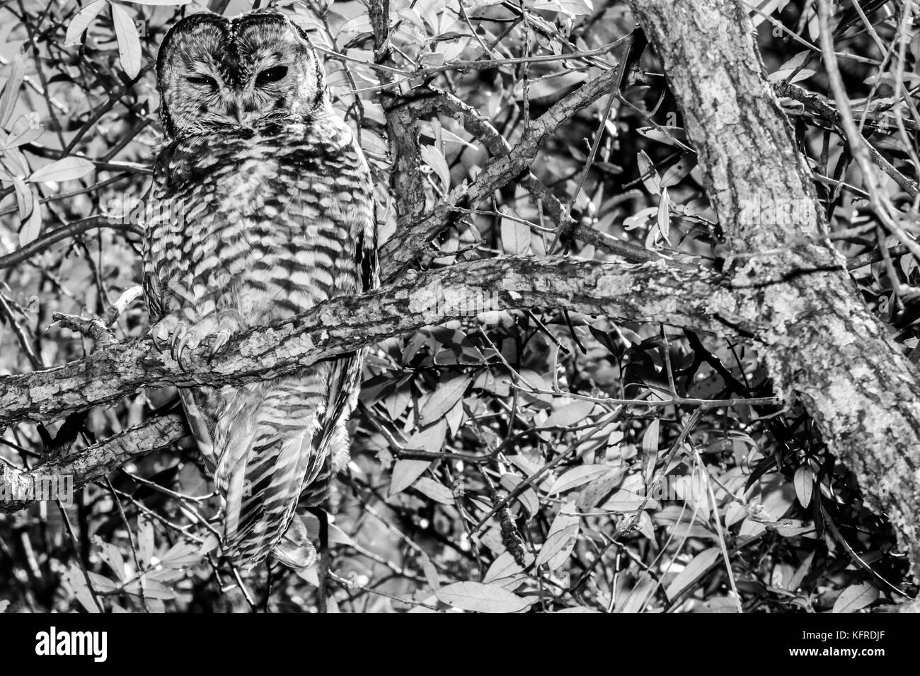 Mexican spotted owl or Strix occidentalis lucida, very difficult to find.   Madrense Discovery Expedition. - Stock Image
