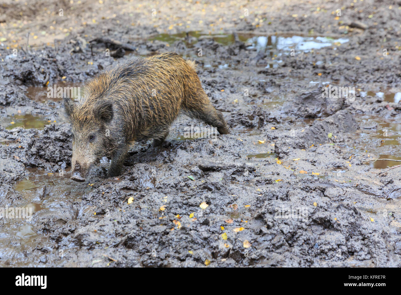 Central European wild boar (sus scrofa) juvennile, young animal, also known as wild swine or Eurasian wild pig, - Stock Image