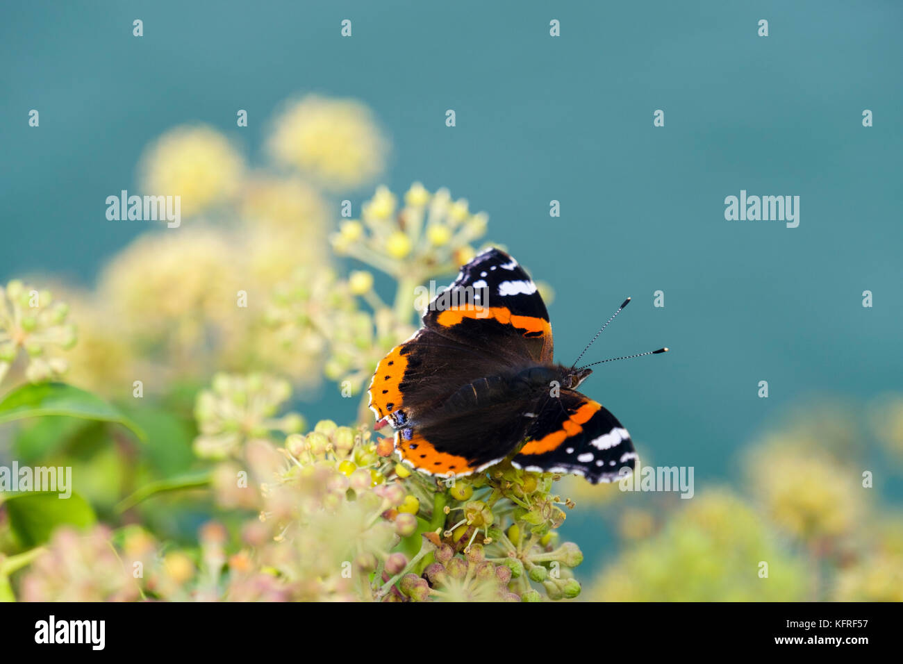 Red Admiral butterfly (Vanessa atalanta) on Ivy flowers (Hedera helix) by the sea in late summer early autumn. England, - Stock Image