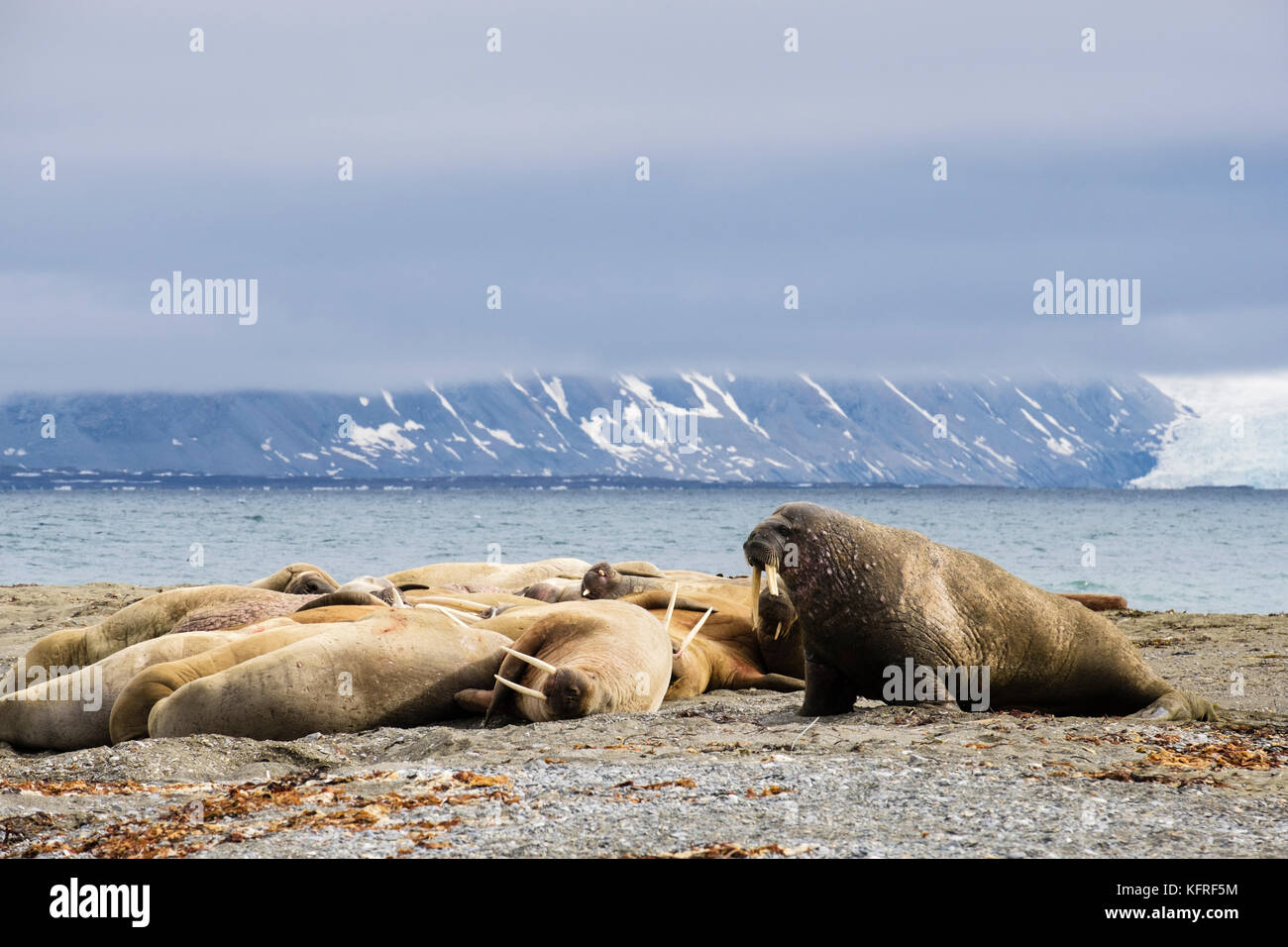 Group of Walruses (Odobenus rosmarus) adults hauled out to rest on dry land on Arctic coast in summer 2017. Spitsbergen, - Stock Image