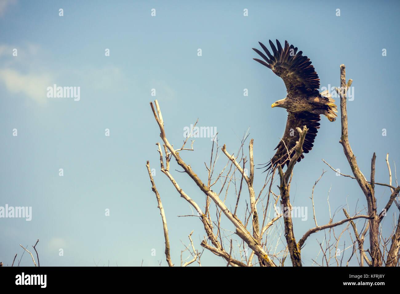 A starting eagle in the Danube Delta in Romania. - Stock Image