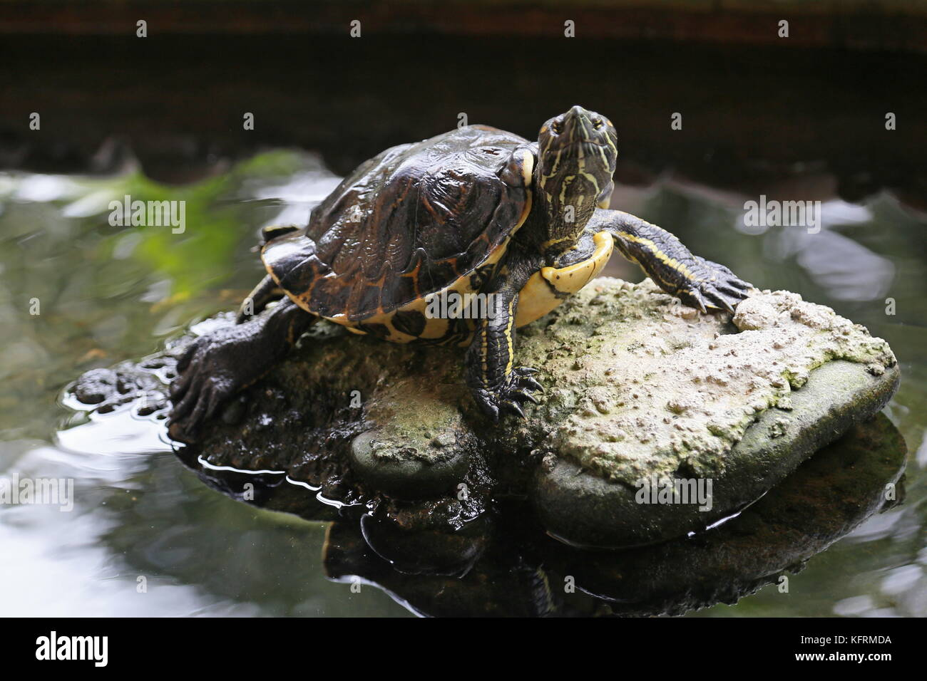 Meso-American Slider Turtle (Trachemys venusta), Puerto Viejo de Talamanca, Limón province, Caribbean Sea, - Stock Image