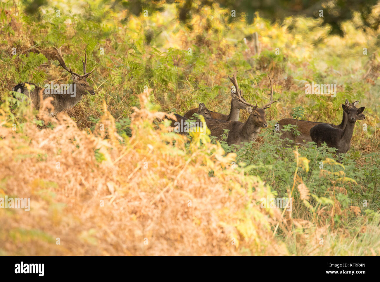 Group of fallow deer moving through autumnal woodland in Wales, UK. - Stock Image