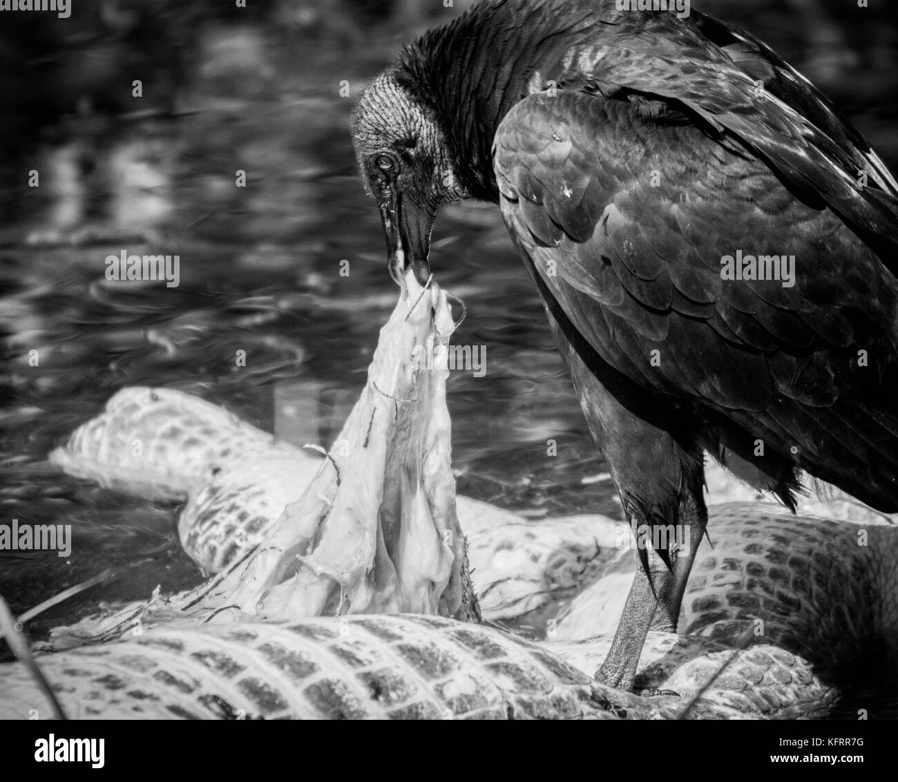 Vulture eating carrion - Stock Image